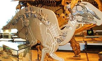 Bactrosaurus - Partial B. johnsoni skeleton