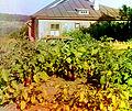 Badrazhany, Eggplants (A).jpg