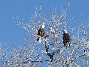 Crown Hill Park - Bald eagles at Crown Hill Park, December 24, 2016.