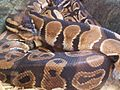 Ball python (Python regius) at Petco in Jacksonville, Florida.jpg