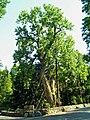 Balmville Tree.jpg