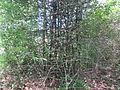 Bamboo - മുള 03.JPG