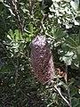 Banksia praemorsa .JPG
