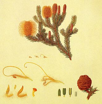 Banksia pulchella - A painting of B. pulchella by Ferdinand Bauer, based on field drawings made by him in January 1802