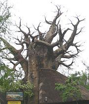 Baobab1.jpg