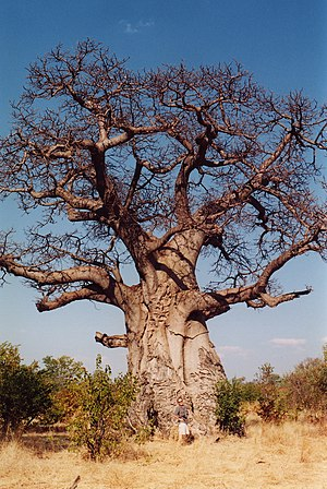 Adansonia digitata in Africa. Deutsch: Afrikan...