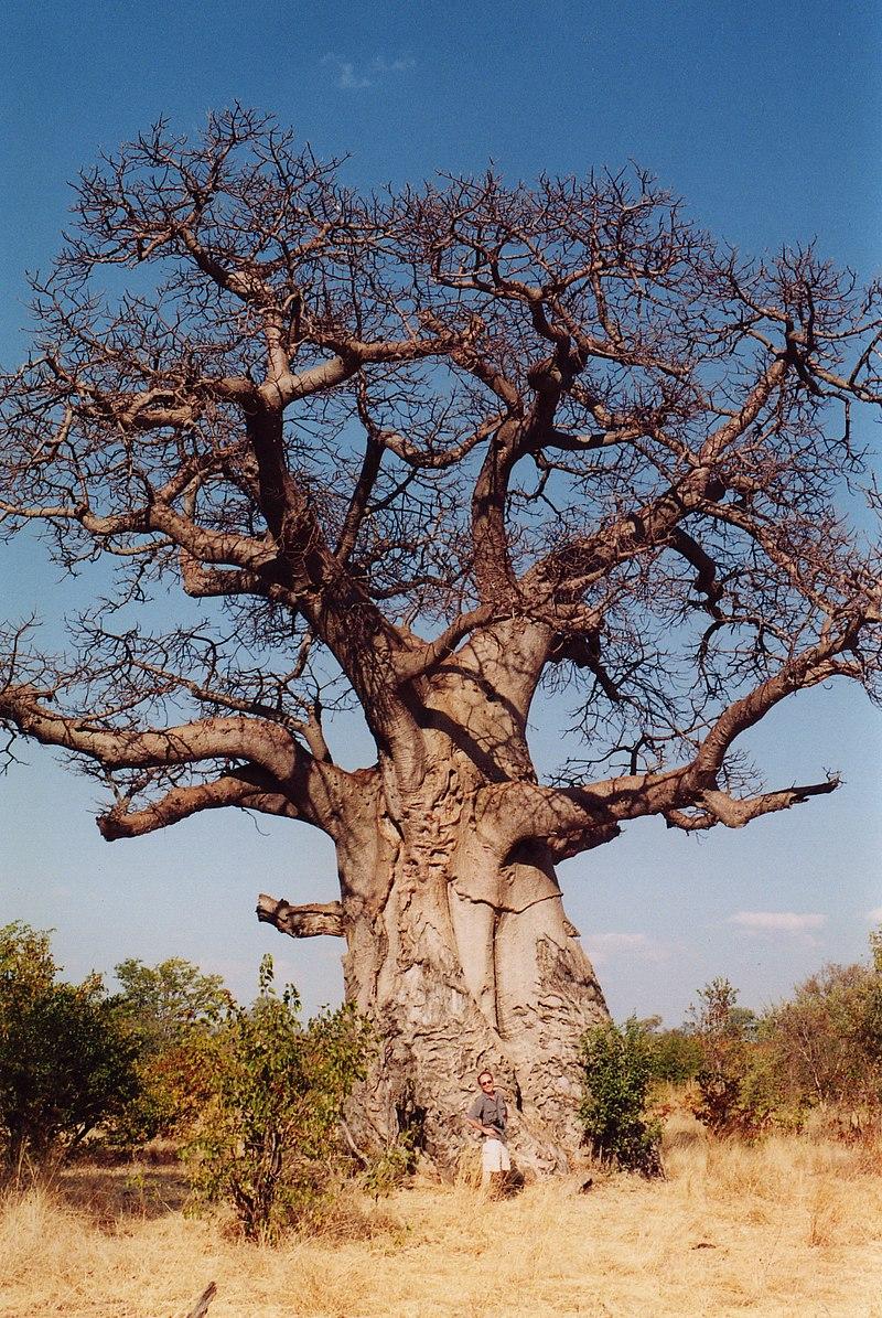 Adansonia digitata, o baobá-africano.
