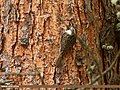 Bar-tailed Tree-creeper (Certhia himalayana) (27957663663).jpg