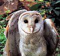Barn Owl Photograph By Shantanu Kuveskar.jpg