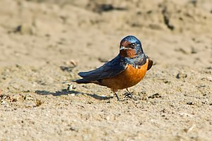 Barn Swallow (95504589).jpeg