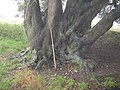 Base of Holm Oak near Dry Lodge Plantation - geograph.org.uk - 1556023.jpg