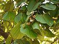 Bauhinia foveolata ♂ (4159043731).jpg
