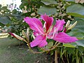 Bauhinia purpurea in Bhopal 2.jpg