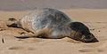 Beached seal on Poipu Beach (8034643821).jpg