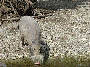 Description de l'image Bearded Pig.JPG.