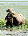 Bears Alaska (1).jpg
