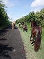 Beautiful horses in Vieques.jpg