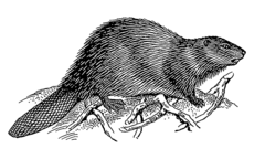 Beaver 2 (PSF).png