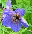 Bee + Cranesbill.JPG