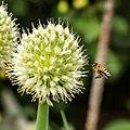 Bee Busy (75166675).jpeg