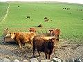 Beef Cattle on Buckholm farm - geograph.org.uk - 1273714.jpg