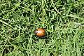 Beetle phulbari 01.JPG