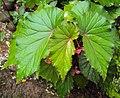 Begonia Malabarica 04.JPG