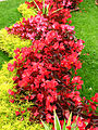 Begonia semperflorens (in a border) 01.jpg