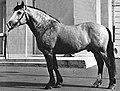 Belarus Harness Horse Orlik I.jpg
