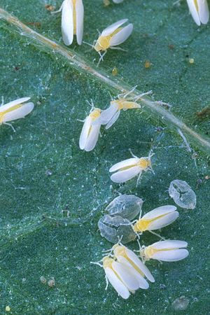 Silverleaf whitefly - Bemisia tabaci molting on leaves. The silver empty structures on the leaves are cast-off skins.