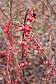 Berberis vulgaris fruits - 5.jpg