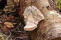 Berkenzwam of berkendoder (Piptoporus betulinus) Locatie, Hortus (Haren, Groningen) 01.jpg