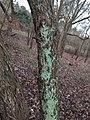 Berkheide - Gelobde poederkorst (Lepraria finkii) v1.jpg