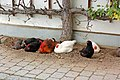 Bernau am Chiemsee - Ortsmitte (04) - Hühnerhaufen - Flickr - Pixelteufel.jpg