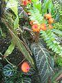 Berne botanic garden Pearcea hypocyrtiflora.jpg