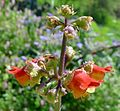 Betony Scrophularia sambucifolia - Flickr - gailhampshire.jpg