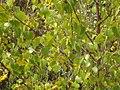 Betula pendula Roth (AM AK294867-4).jpg