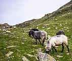 Bielerkopf - Schafe 01.jpg