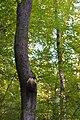 Bienen-Nest an einem Baumstamm 2.JPG