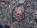 Big garnet amphibolite (Precambrian; Warrensburg, Adirondack Mountains, New York State, USA) 39.jpg