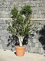 Big potted tree like plant.JPG