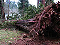 Big tree down.jpg