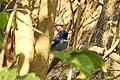 Bird Small Niltava 01.jpg