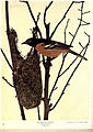 Birds of Buzzard's Roost (Plate XXVII) (6279454237).jpg