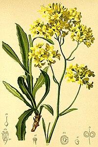 Biscutella laevigata Atlas Alpenflora