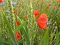 Blühender Weizen.jpg