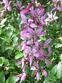 Blüten der Dictamnus albus