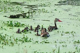 Black-Bellied Whistling Duck family.jpg