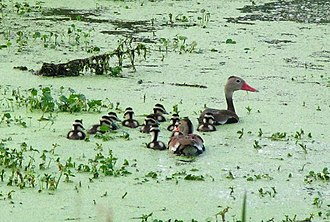 Phinizy Swamp Nature Park - Image: Black Bellied Whistling Duck family