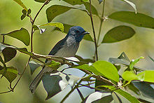 Black-Naped Monarch Flycatcher male.jpg